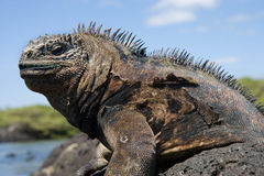 Portrait of the marine iguana. The Galapagos Islands. Pacific Ocean. Ecuador. Royalty Free Stock Image