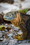 Portrait of a marine iguana in the Galpagos Royalty Free Stock Photography