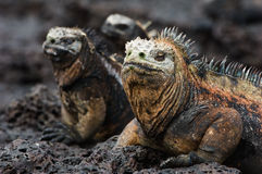 Portrait of the marine iguana with relatives. Portrait of the sea iguana with relatives. Group of marine iguanas are heated under the sun on stony coast stock photo