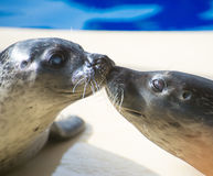 Portrait of marine seal kissing. Stock Image