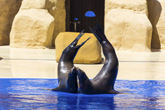 Portrait of marine seal kissing near water pool. Stock Image