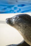 Portrait of marine seal. Royalty Free Stock Photos