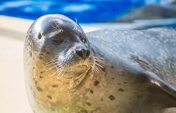 Portrait of marine seal. Stock Photos