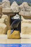 Portrait of marine seal Royalty Free Stock Image