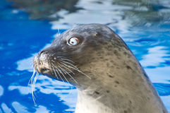 Portrait of marine seal. Royalty Free Stock Photography