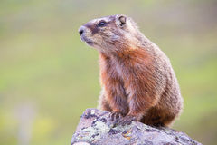 Portrait of a marmot Royalty Free Stock Photos