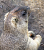 Portrait of marmot Royalty Free Stock Photos