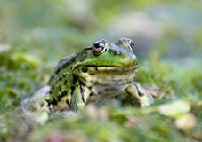 Portrait of marsh green frog sitting in the water Royalty Free Stock Photography