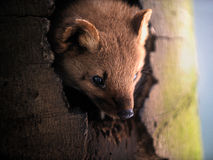 Portrait of Marten. Looking out of hole in tree trunk Royalty Free Stock Photos