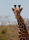 Portrait of a Masai Giraffe Stock Photo