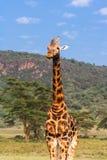 Portrait of masai giraffes. Landscapes from Kenya, Africa Stock Photo