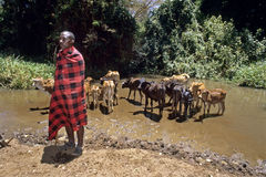 Portrait of Masai man with drinking young cows. Kenya, Masai Mara, village Entesekera: a male shepherd in traditional dress lets his young cattle, calves Royalty Free Stock Photos