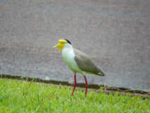 Portrait of a masked lapwing Royalty Free Stock Images
