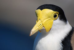 Portrait of Masked Lapwing. Masked Lapwing (Vanellus miles) portrait Stock Photos