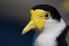 Portrait of Masked Lapwing. Masked Lapwing (Vanellus miles) portrait Royalty Free Stock Images