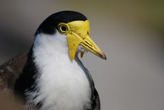 Portrait of Masked Lapwing. Masked Lapwing (Vanellus miles) portrait royalty free stock photos