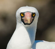 Portrait of Masked White booby. The Galapagos Islands. Birds. Ecuador. Stock Images