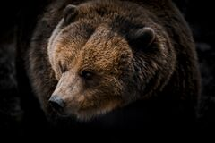 Portrait of massive grizzly bear close-up