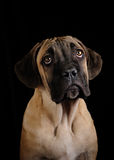 Portrait of a Mastiff puppy Royalty Free Stock Images