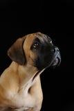 Portrait of a Mastiff puppy Stock Images