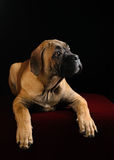 Portrait of a Mastiff puppy Stock Images