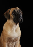 Portrait of a Mastiff puppy Stock Image