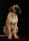 Portrait of a Mastiff puppy Royalty Free Stock Image