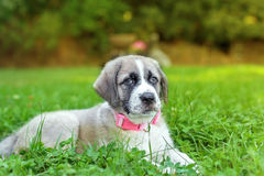 Portrait of Mastiff puppy on green grass at sunset Royalty Free Stock Photo