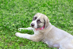 Portrait of Mastiff puppy lying on green grass Royalty Free Stock Images