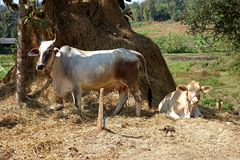Cow tied to tree with pile of hay. A portrait of a mature brahman cow standing and and her calf laying down in front of a large pile of hay Royalty Free Stock Images