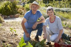 Portrait Of Mature Couple Harvesting Beetroot On Allotment royalty free stock photos