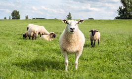 Portrait of a mature sheep. Portrait of a proud white mature sheep posing in front of a group congeners with black heads. It is a sunny day in the summer Stock Image