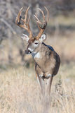 Portrait of a mature whitetail buck Stock Image