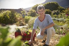 Portrait Of Mature Woman Working On Community Allotment stock photos