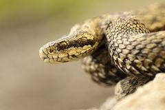 Portrait of meadow viper in natural habitat Stock Photography
