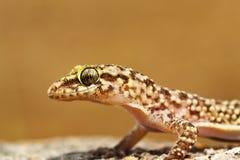 Portrait of mediterranean house gecko Stock Image