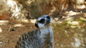 Portrait of a Meercat. Portrait of a South African Meercat, with details of face and fur stock photo