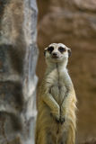 Portrait of Meercat Royalty Free Stock Image