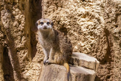 Meercat zoological garden Stock Images