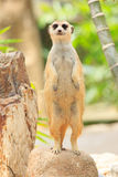 Portrait of meercat Stock Photo