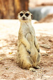 Portrait of meercat Royalty Free Stock Photos