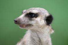 Portrait of a meerkatю Royalty Free Stock Photography