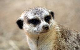 A Portrait of a Meerkat Royalty Free Stock Photos