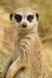 Portrait of a meerkat Royalty Free Stock Photos