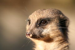 Portrait of a meerkat. This portrait of a meerkat was taken in a zoo Royalty Free Stock Photos