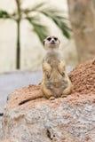 Portrait of meerkat Stock Image