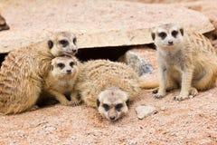 Portrait of meerkat Royalty Free Stock Photos