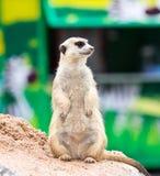 Portrait of meerkat Stock Photography
