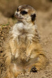 Portrait of a meerkat Royalty Free Stock Photography