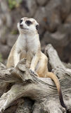 Portrait of meerkat. Sit on tree with green nature background Royalty Free Stock Images